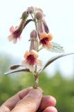 foxglove Fotografering för Bildbyråer