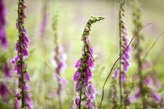 foxglove Στοκ εικόνα με δικαίωμα ελεύθερης χρήσης