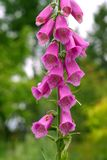 Foxglove Stock Photo