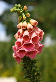 Foxglove in the  Albert park Auckland,New Zealand Stock Photography