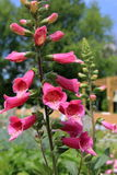 Foxglove Royalty Free Stock Image