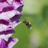 Foxglove con la abeja Foto de archivo