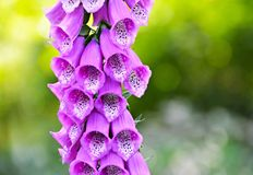 Foxglove or digitalis detail Stock Photos