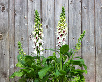 Foxglove or Digitalis planted in frond of a woooden wall. Stock Photos