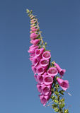 Foxglove, Digitalis purpurea. Royalty Free Stock Image