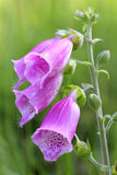 Foxglove (Digitalis purpurea) close-up Royalty Free Stock Images