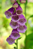 Foxglove Digitalis purpurea Royalty Free Stock Images