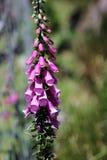 Foxglove. Digitalis purpurea (foxglove, common foxglove, purple foxglove or lady's glove Stock Photos