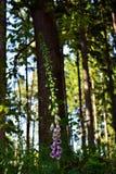 Foxglove (digitalis purpurea). Detail of foxglove (digitalis purpurea royalty free stock images
