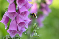 Foxglove Digitalis purpurea Stock Photography