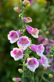 Foxglove flower Royalty Free Stock Photography