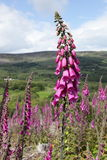 Foxglove flower. Stock Photo