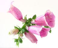 Foxglove flower Stock Images