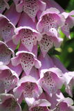 Pink Foxglove Flower  Royalty Free Stock Photography