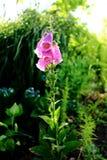 Foxglove flower stock photo