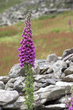 Foxglove Royalty Free Stock Photography