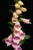 Foxglove flowers on black. Royalty Free Stock Photos