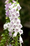Foxglove flowers Royalty Free Stock Images