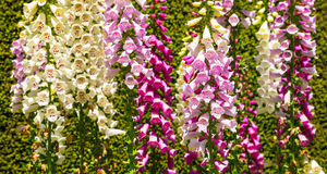Foxglove flowers Stock Photos