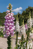 Foxglove flowers in Doi Inthanon National Park, Chiang Mai, Thailand. Foxglove flowers bloom in Doi Inthanon National Park, Chiang Mai, Thailand Stock Images