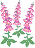 Foxglove flowers Royalty Free Stock Image