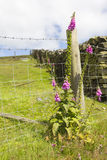 Foxglove growing wild by fence Stock Photo