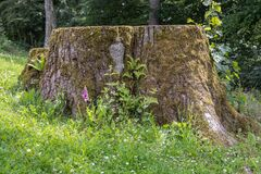 Free Foxglove In Front Of Huge Stump Stock Photos - 190650033