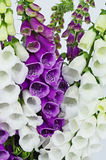 Foxglove Royalty Free Stock Images