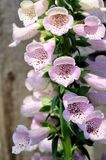 Foxglove lupine flower Stock Photography