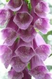 Foxglove púrpura Imágenes de archivo libres de regalías