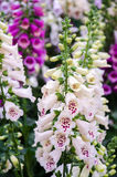 Foxglove Plant. Budding bells of a Camelot Mix Foxglove plant in early spring (Digitalis Purpurea Royalty Free Stock Image