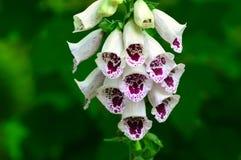 Foxglove - purpurea наперстянки Стоковое Изображение