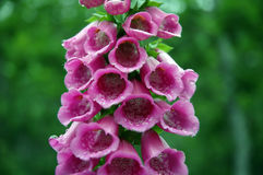 Foxglove (purpurea da digital) Fotografia de Stock