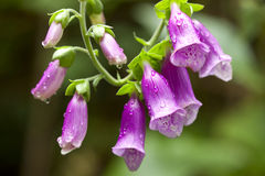 Foxglove and raindrops. Foxglove petals covered with rain drops Stock Photo