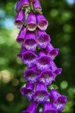 Foxglove roxo Fotos de Stock