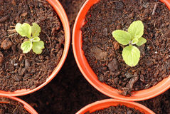 Foxglove seedlings in growing on for next year.. Stock Photography