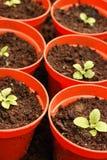Foxglove seedlings in red plantpots. Royalty Free Stock Photo