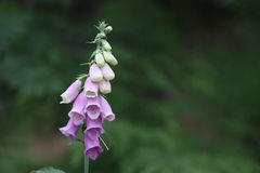 Foxglove single flower Royalty Free Stock Images