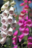Foxglove stalks Stock Photos