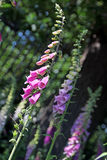Foxglove stalks Royalty Free Stock Images
