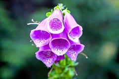 Foxglove viola Immagini Stock Libere da Diritti
