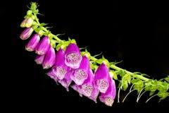 foxglovepurple Royaltyfria Bilder