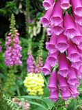 Foxgloves Royalty Free Stock Photography