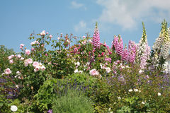 Foxgloves in a beautiful flower garden. Pink roses , foxgloves and lavender growing in a cottage garden Royalty Free Stock Image