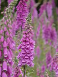 Foxgloves in a clearing. Stock Photo