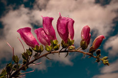 Foxgloves contra un cielo del verano Foto de archivo libre de regalías