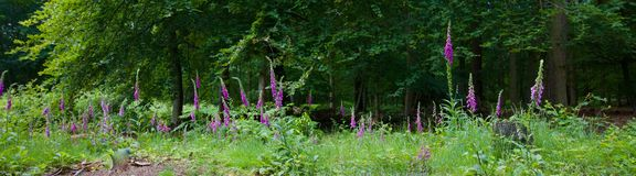 Foxgloves or digitalis in front of trees in woods royalty free stock photo