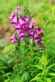 Foxgloves or Digitalis. Digitalis is a genus of about 20 species of herbaceous perennials, shrubs, and biennials commonly called foxgloves Stock Photography