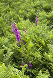 Foxgloves in fern Stock Photography