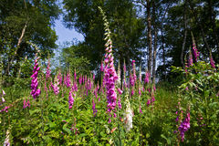 Foxgloves Royalty Free Stock Images